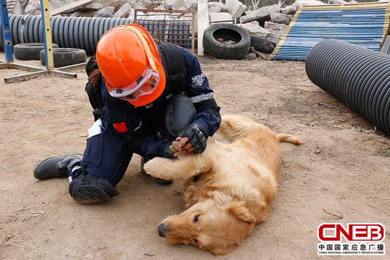 (训导员检查搜救犬是否受伤)