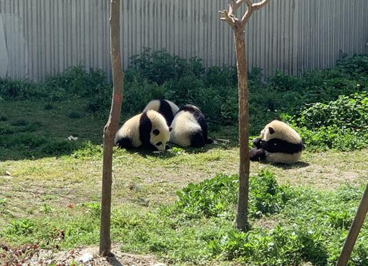 大熊猫宝宝进食。朱紫阳 摄