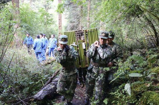 2018年熊猫野化放归,森林消防员进行搬运工作。彭科 摄